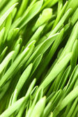 Green grass macro — Stock Photo