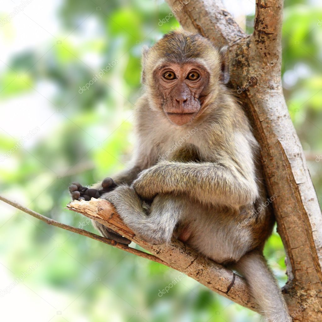 Monkey (Macaque rhesus) sitting on the tree — Stock Photo #4550227
