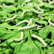 Silkworms - Stock Photo