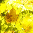 Yellow maple leave — Stock Photo