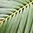 Palm leaf — Stock Photo #4580024
