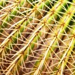 Golden barrel cactus — Stock Photo #4580077