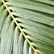 Palm leaf — Stock Photo #4580211