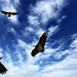Stock Photo: Three eagles