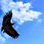 American condor — Stock Photo #4580585