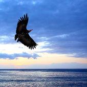 Big eagle flying — Stock Photo