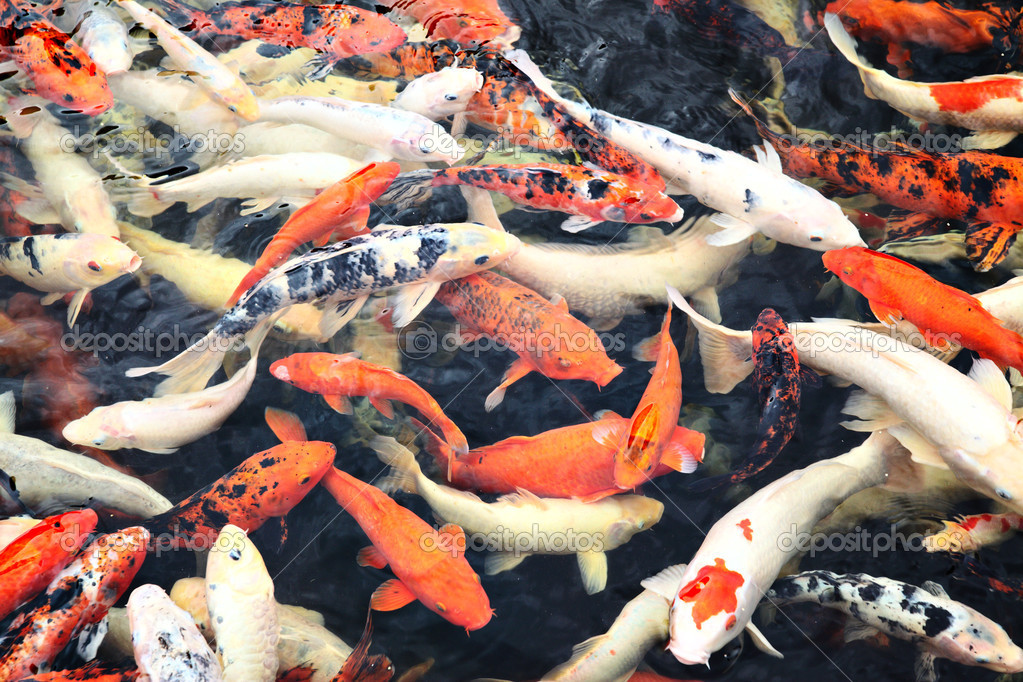 Japanese koi fish stock photo zoooom 4580000 for Japanese koi carp fish