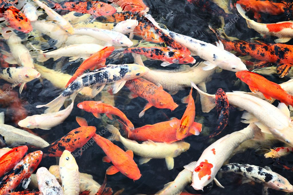 Poissons koi japonais photo 4580000 for Poisson koy