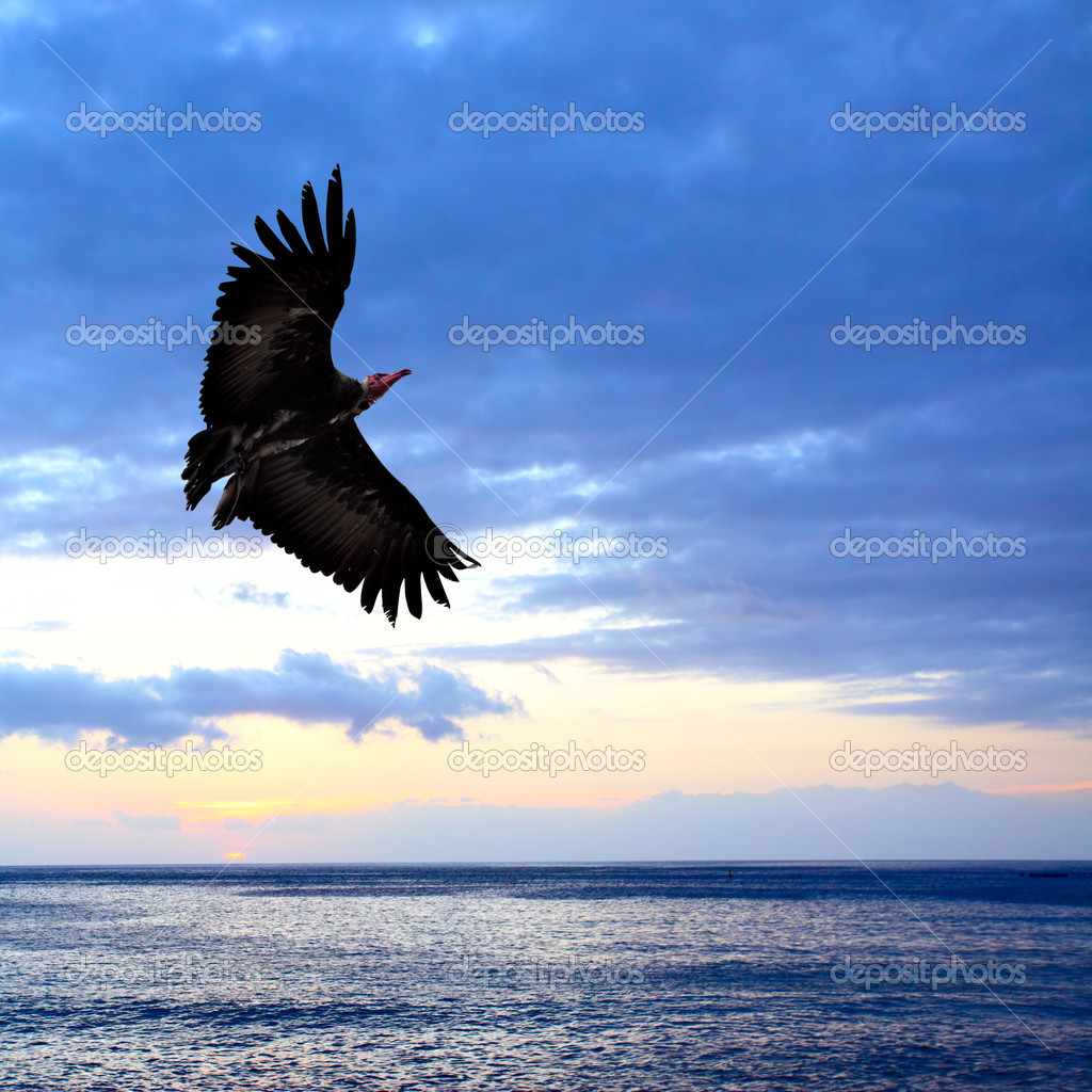 Big condor flying over sea at sundown — Photo #4580402