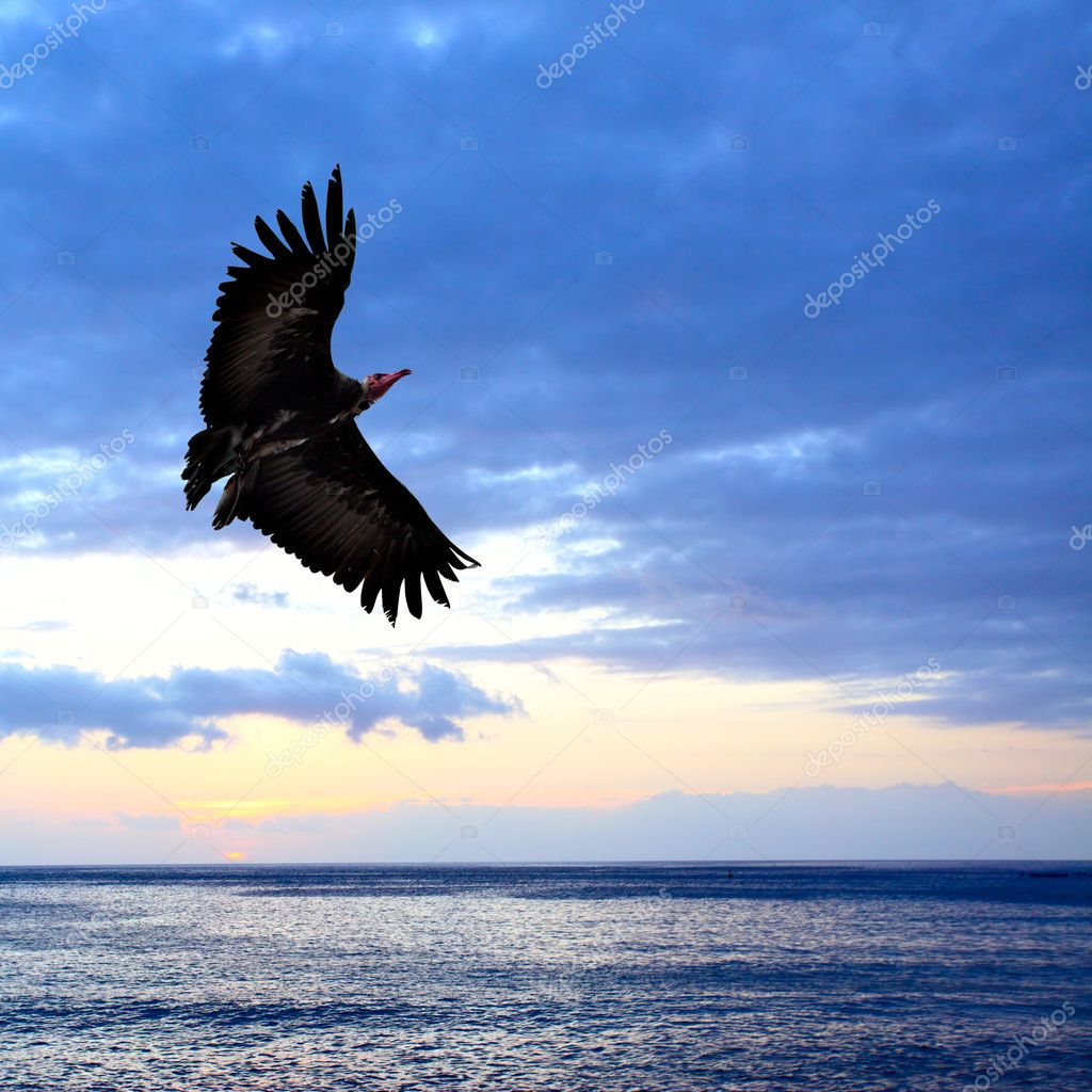 Big condor flying over sea at sundown — Stockfoto #4580402