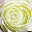 Rose bud — Stock Photo