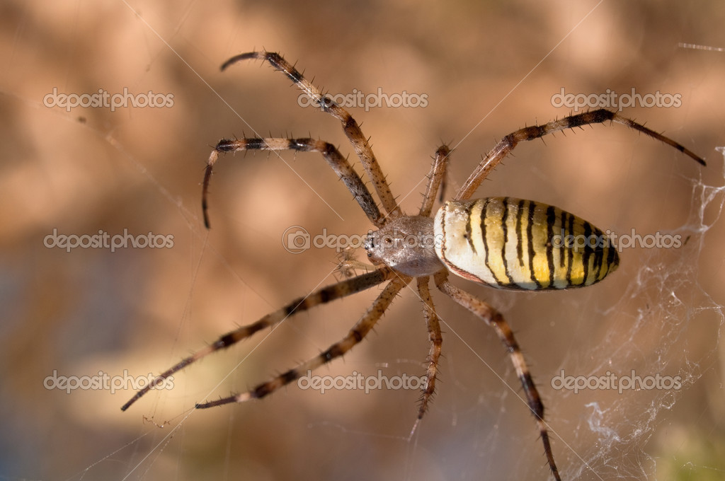 Close-up of a wasp spider (Argiope bruennichi) — Stock Photo #4452439