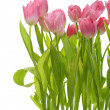 Tulips flowers over — Stock Photo