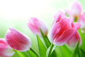 Fresh tulips — Stock Photo