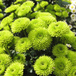 Green chrysanthemums — Stock Photo