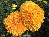 美しい大きなオレンジ色の菊 — ストック写真