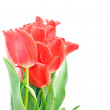 Beautiful pink tulips — Stock Photo