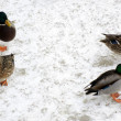 wild ducks — Stock Photo #4091283