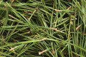 Christmas pine texture — Stock Photo
