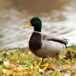 Wild duck — Stock Photo #5104187