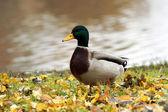 Pato salvaje — Foto de Stock