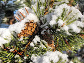 Pine tree branches — Stockfoto