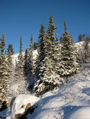 Spruce trees covered with snow — ストック写真