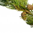 Pinecones and branch of the Christmas Tree isolated on white — Stock Photo #4180567