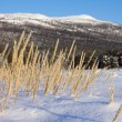 Yellow grass in the snow — Stock Photo