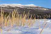 Yellow grass in the snow — Stok fotoğraf