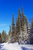 Spruce trees covered with snow — Stock Photo