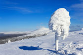 Pine-tree covered with snow — Stock Photo