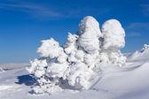 сосны покрыты снегом — Стоковое фото