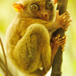 Tarsier — Stock Photo #4595705