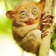 Tarsier — Stock Photo #4664663