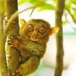 Tarsier - Stockfoto