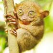 Tarsier — Stock Photo #4815951