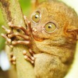 Tarsier — Photo