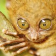 Tarsier — Stock Photo #4991135