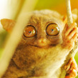 Tarsier — Stock Photo #5066882