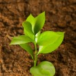 New life concept - green seedling growing out of soil — Stock Photo