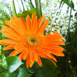 Orange gerbera flower - Stock Photo