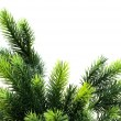 Close up of fir tree brach isolated on white — Stock Photo