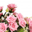 Pink roses isolated on the white background — Stock Photo