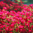 Red flowers with shallow  depth of field — Стоковая фотография