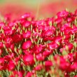 Red flowers with shallow depth of field — Stock Photo