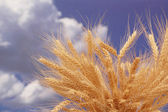Wheat ears against the blue cloudy sky — Stock Photo