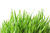 Green grass isolated on the white background — Stock Photo
