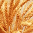 Close up of wheat ears - shallow depth of field — Stock Photo