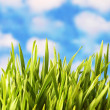 Green grass against the bright blue sky — Stock Photo